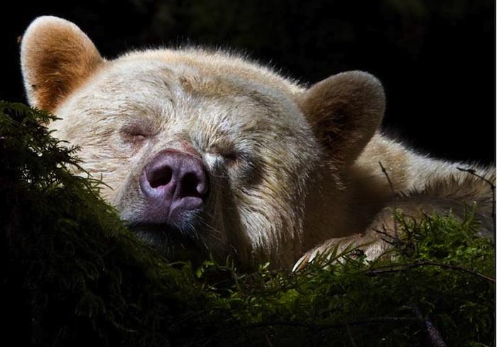 The Rare White Black Bear
