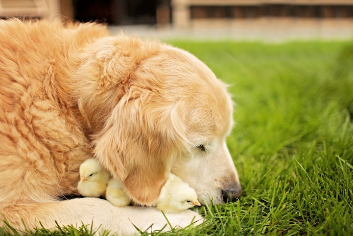 adorable golden retriever with baby chicks