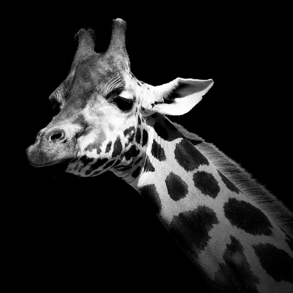 Breathtaking black white animal portraits by lukas holas