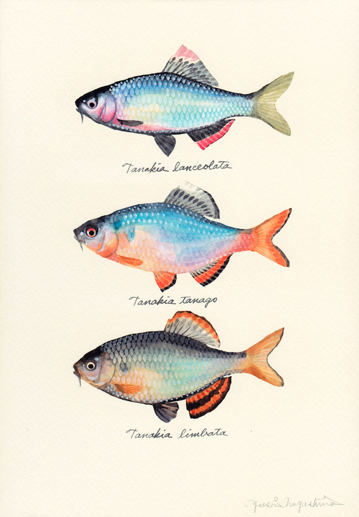 Japanese artist creates delicate watercolor paintings of for Watercolor fish painting